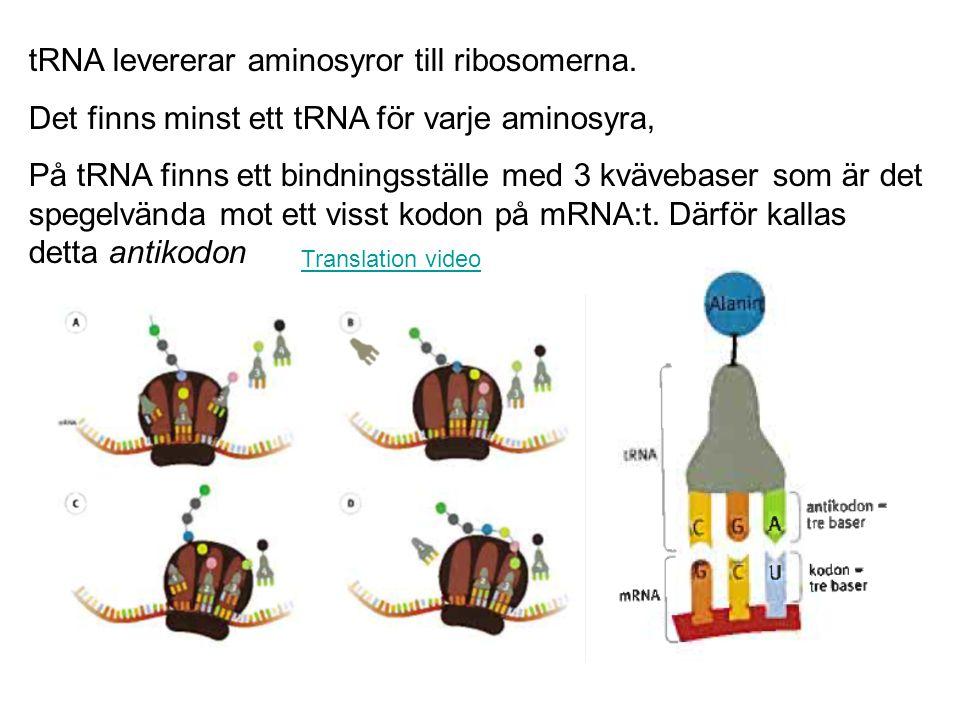 tRNA levererar aminosyror till ribosomerna.