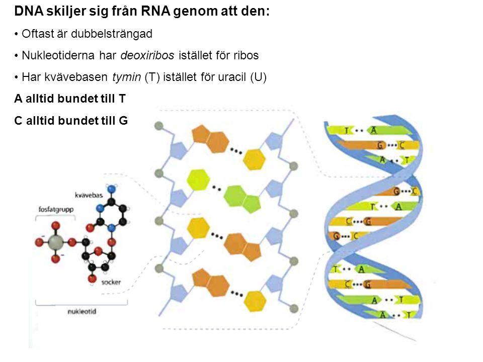 DNA skiljer sig från RNA genom att den: