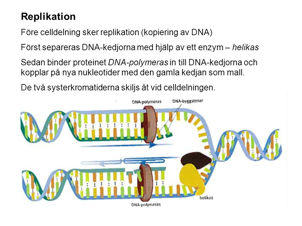 Replikation Före celldelning sker replikation (kopiering av DNA)