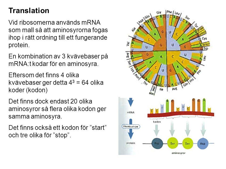 Translation Vid ribosomerna används mRNA som mall så att aminosyrorna fogas ihop i rätt ordning till ett fungerande protein.