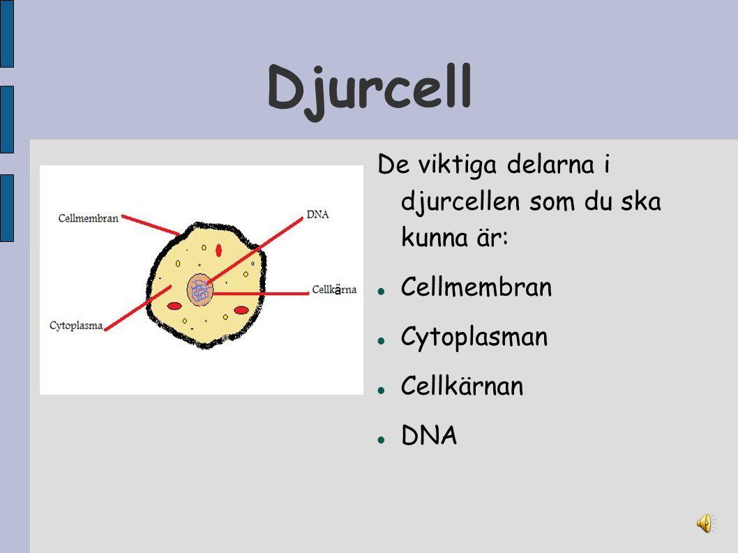 Djurcell De viktiga delarna i djurcellen som du ska kunna är: