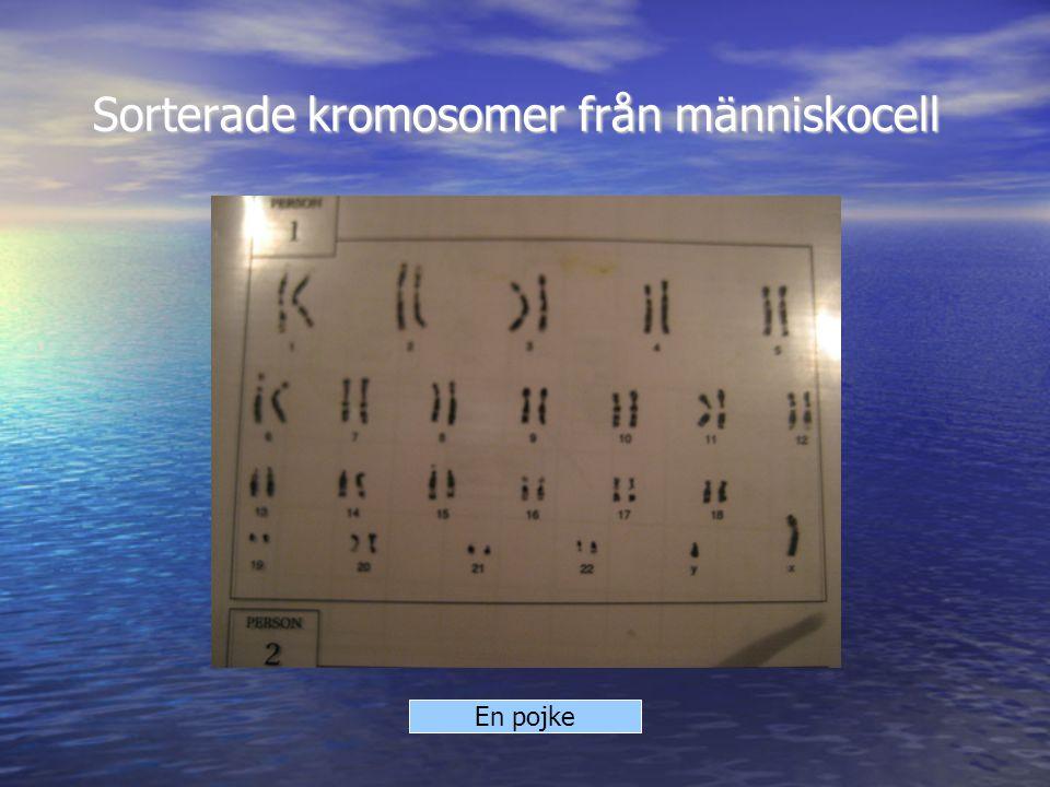 Sorterade kromosomer från människocell