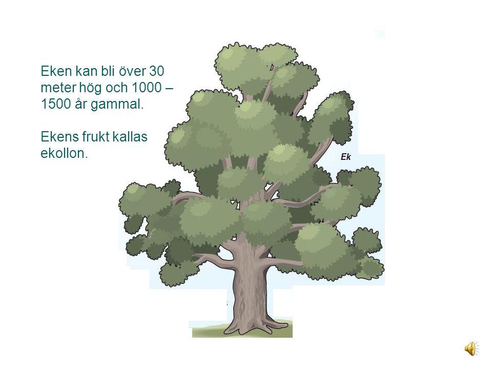 Eken Eken kan bli över 30 meter hög och 1000 – 1500 år gammal.