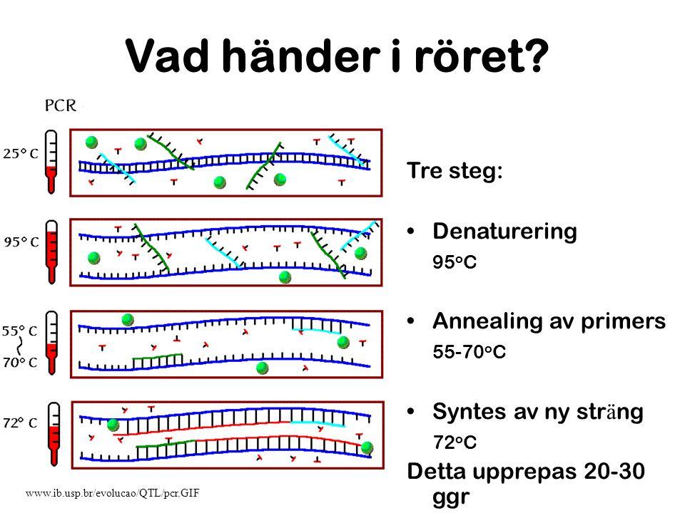 Vad händer i röret Tre steg: Denaturering 95oC Annealing av primers