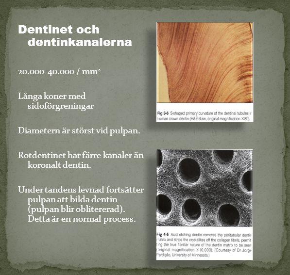 Dentinet och dentinkanalerna