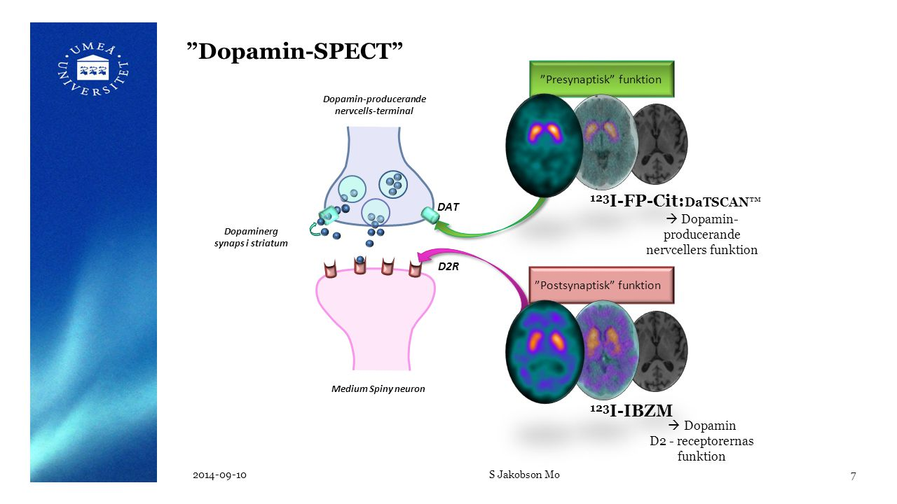 Dopamin-producerande nervcells-terminal Dopaminerg synaps i striatum