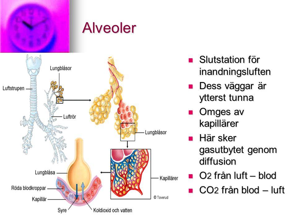 Alveoler Slutstation för inandningsluften Dess väggar är ytterst tunna