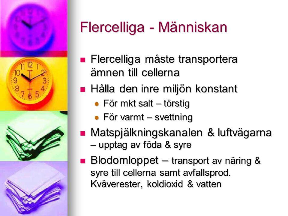 Flercelliga - Människan