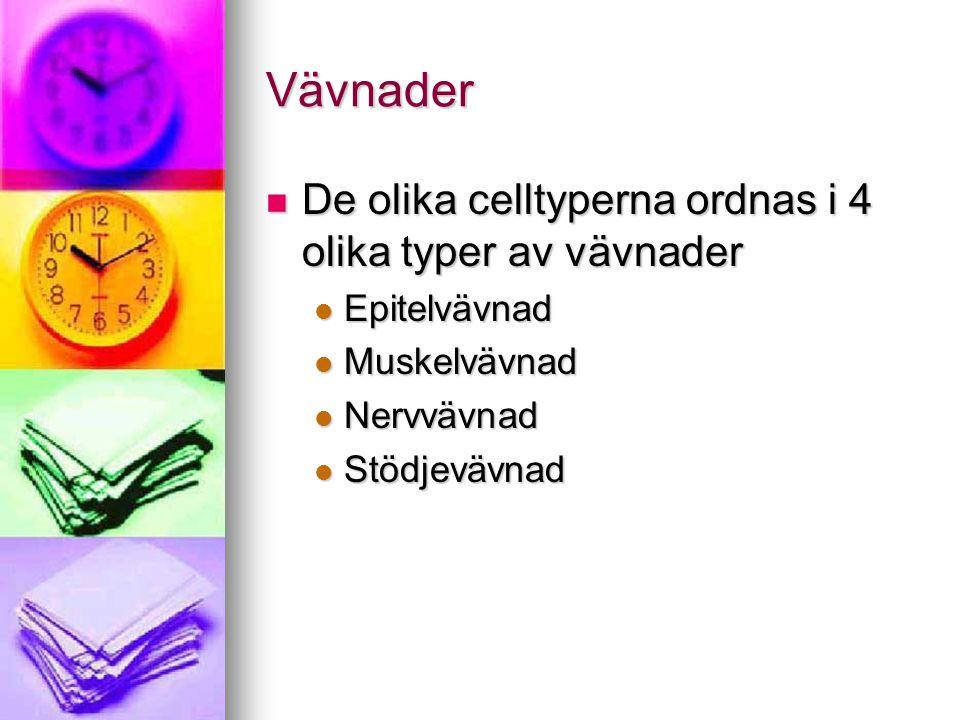 Vävnader De olika celltyperna ordnas i 4 olika typer av vävnader