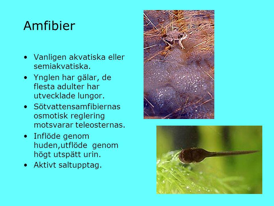 Amfibier Vanligen akvatiska eller semiakvatiska.