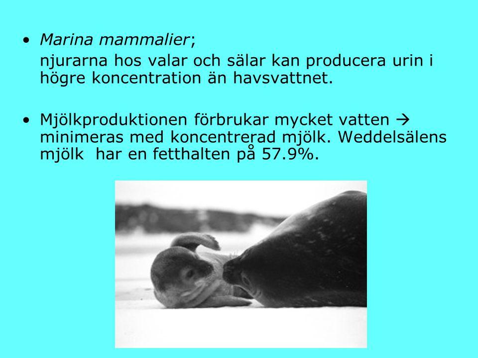 Marina mammalier; njurarna hos valar och sälar kan producera urin i högre koncentration än havsvattnet.