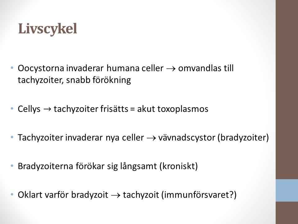 Livscykel Oocystorna invaderar humana celler  omvandlas till tachyzoiter, snabb förökning. Cellys → tachyzoiter frisätts = akut toxoplasmos.