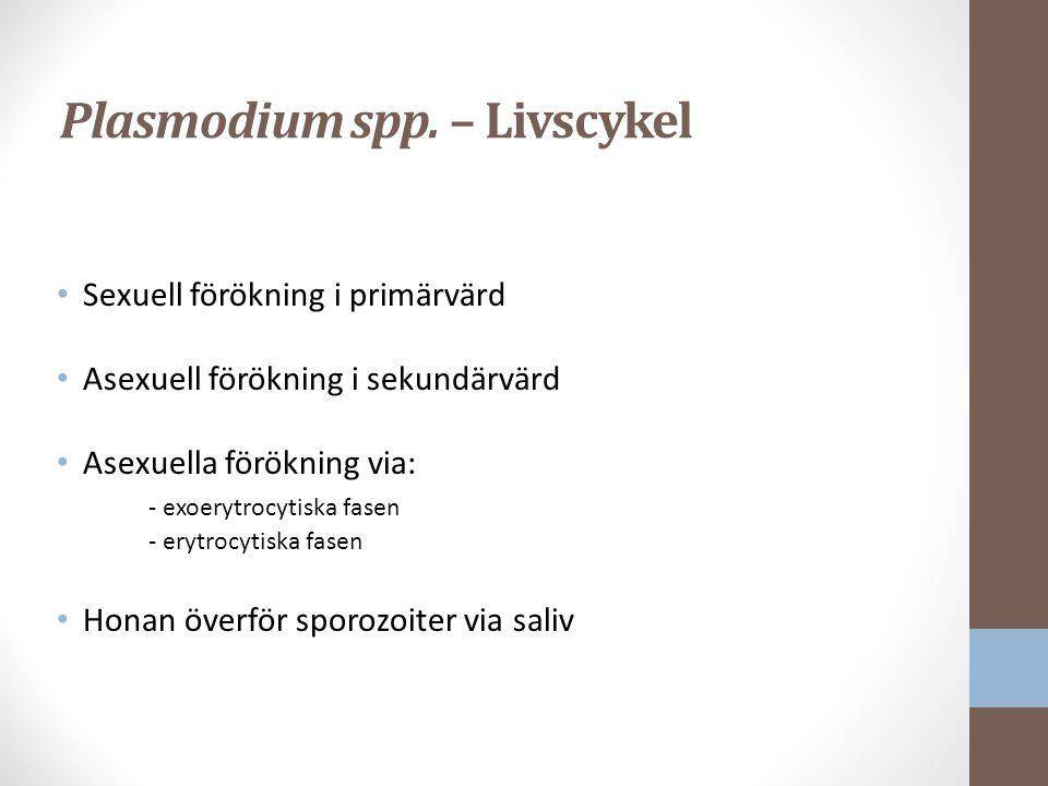 Plasmodium spp. – Livscykel