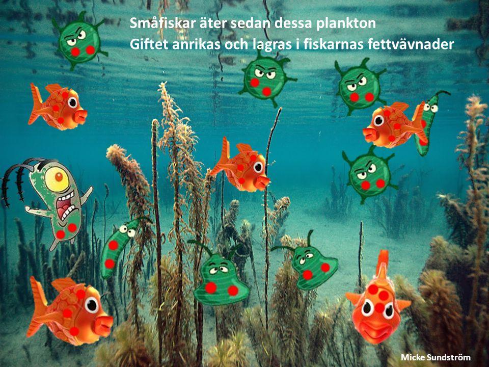 Småfiskar äter sedan dessa plankton