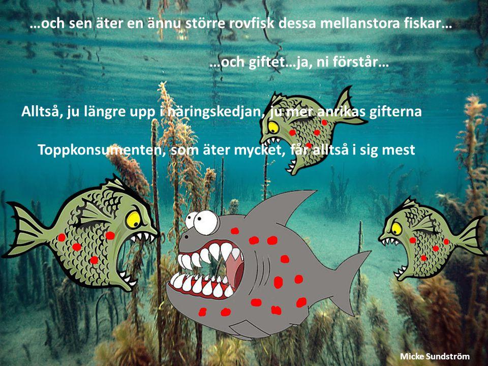 …och sen äter en ännu större rovfisk dessa mellanstora fiskar…