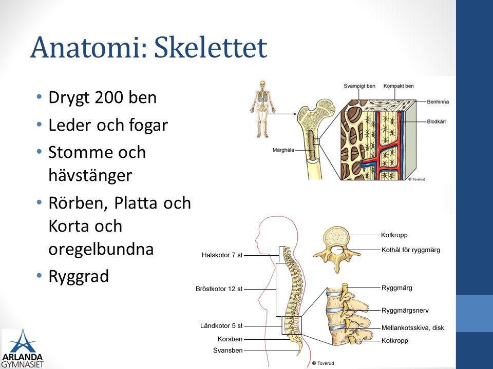 Anatomi: Skelettet Drygt 200 ben Leder och fogar Stomme och hävstänger