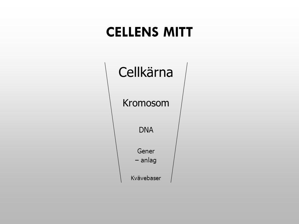 Cellens mitt Cellkärna Kromosom DNA Gener – anlag Kvävebaser