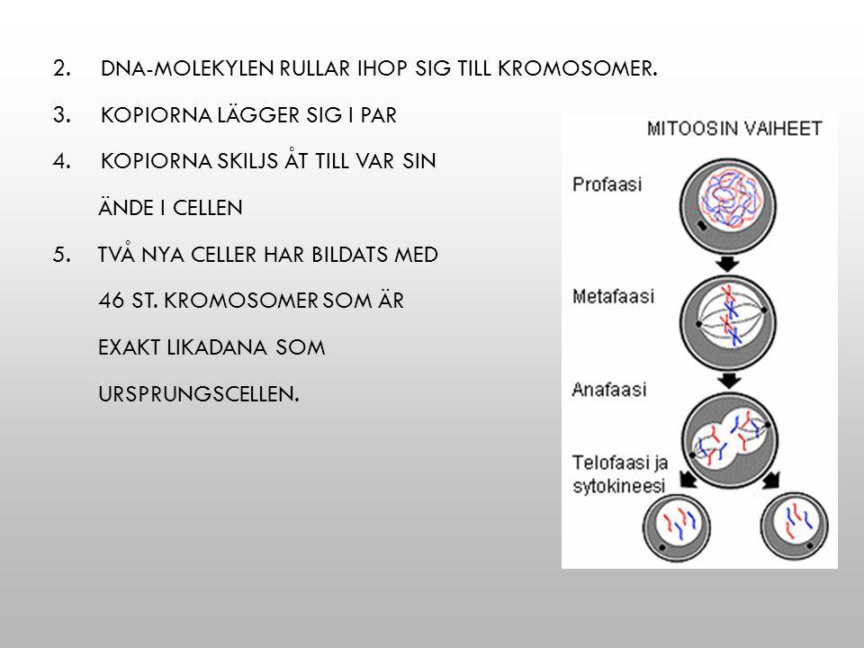 DNA-molekylen rullar ihop sig till kromosomer.