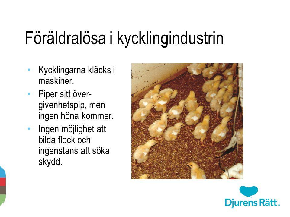Föräldralösa i kycklingindustrin