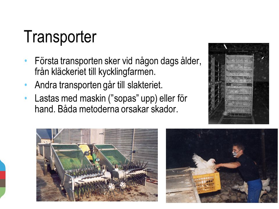 Transporter Första transporten sker vid någon dags ålder, från kläckeriet till kycklingfarmen. Andra transporten går till slakteriet.