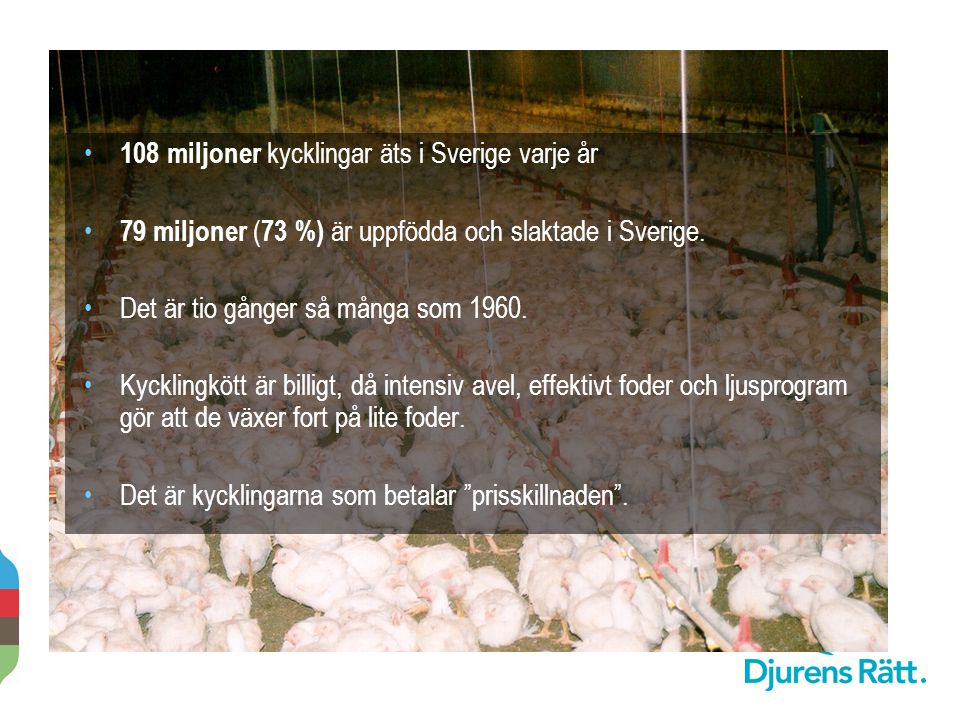 108 miljoner kycklingar äts i Sverige varje år