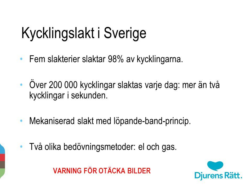 Kycklingslakt i Sverige