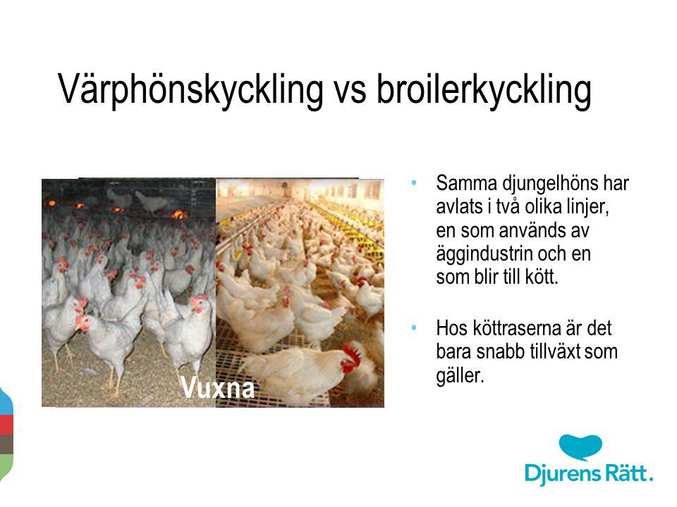 Värphönskyckling vs broilerkyckling