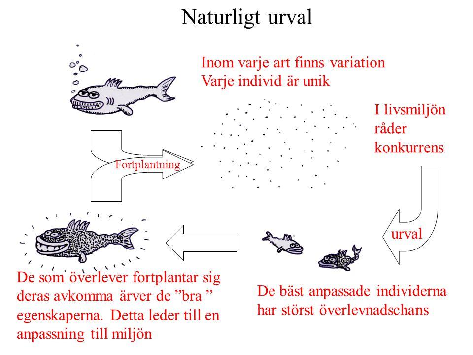 Naturligt urval Inom varje art finns variation Varje individ är unik