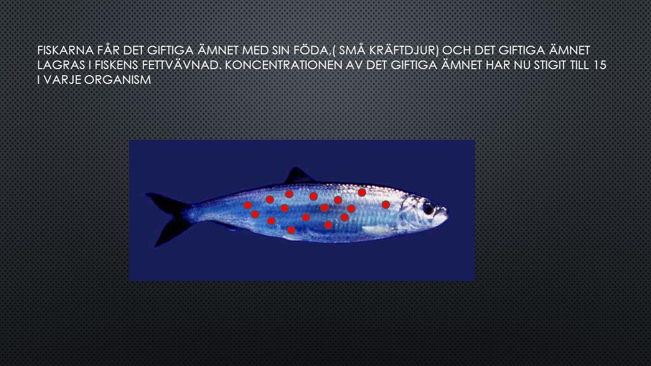 FISKARNA FÅR DET GIFTIGA ÄMNET MED SIN FÖDA,( SMÅ KRÄFTDJUR) OCH DET GIFTIGA ÄMNET LAGRAS I FISKENS FETTVÄVNAD.