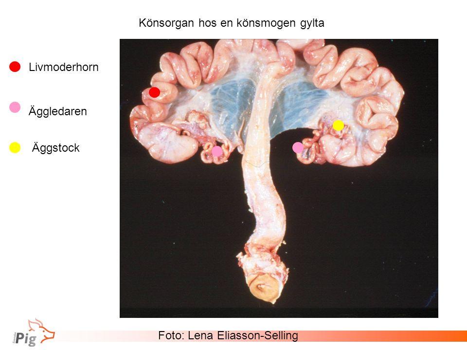 Könsorgan hos en könsmogen gylta