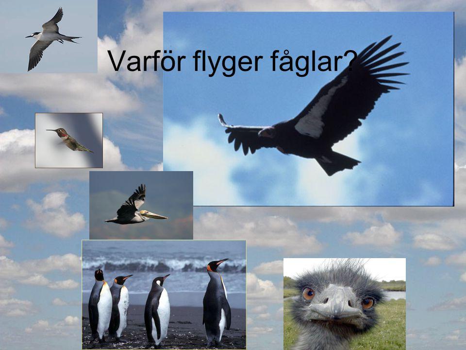 Varför flyger fåglar