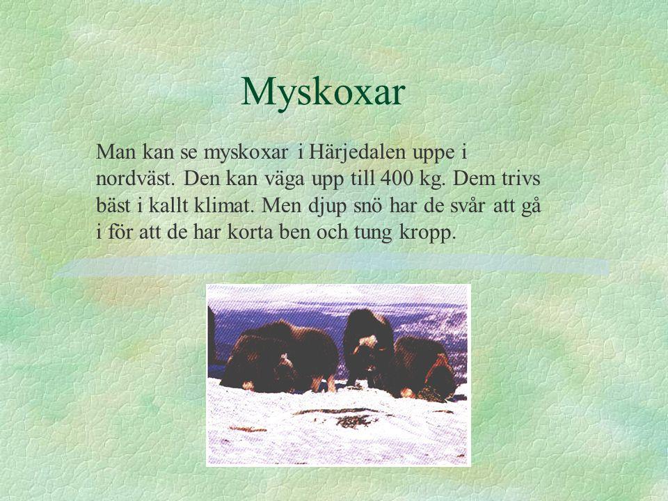 Myskoxar