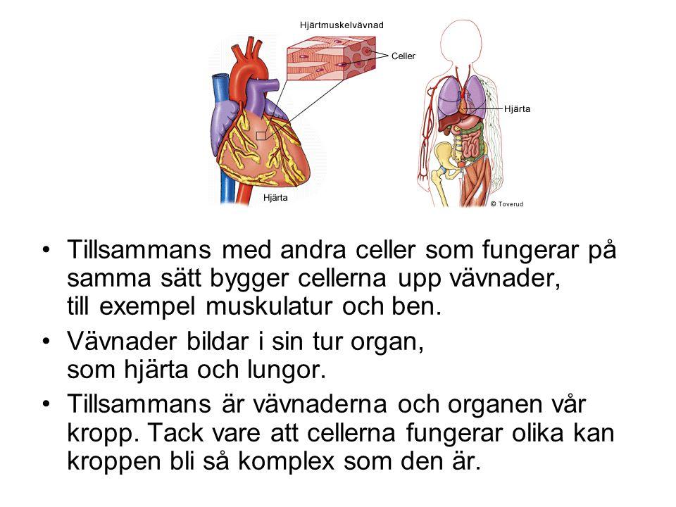 Tillsammans med andra celler som fungerar på samma sätt bygger cellerna upp vävnader, till exempel muskulatur och ben.
