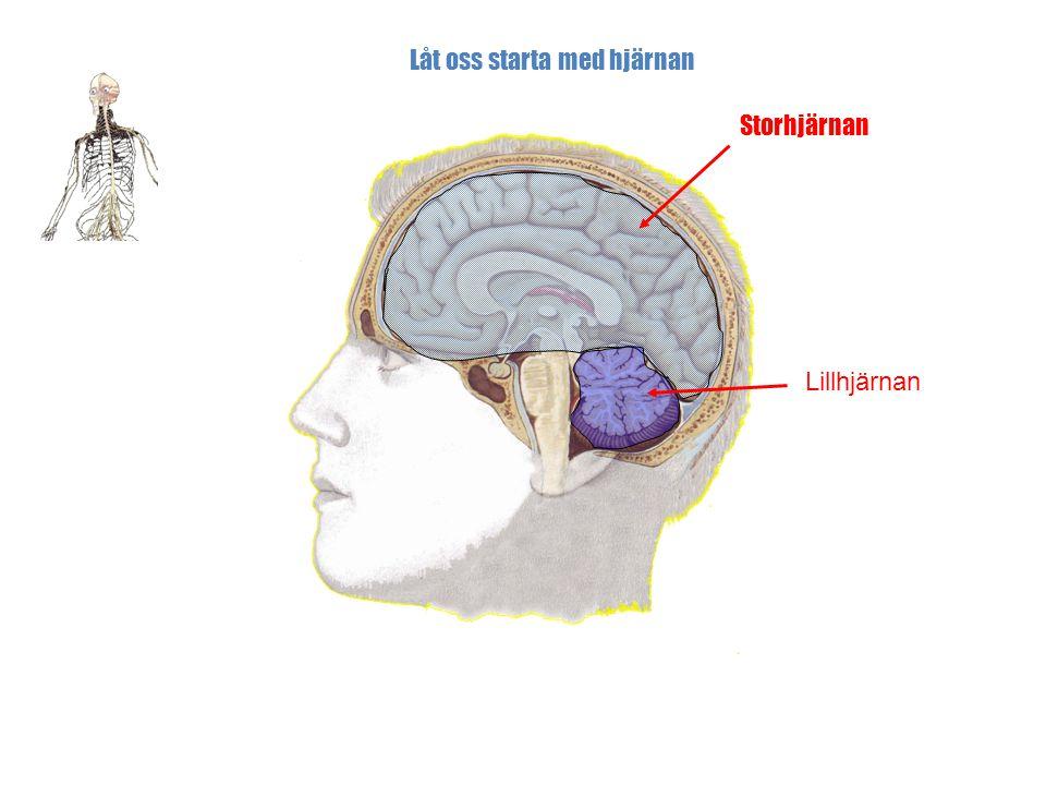 Låt oss starta med hjärnan
