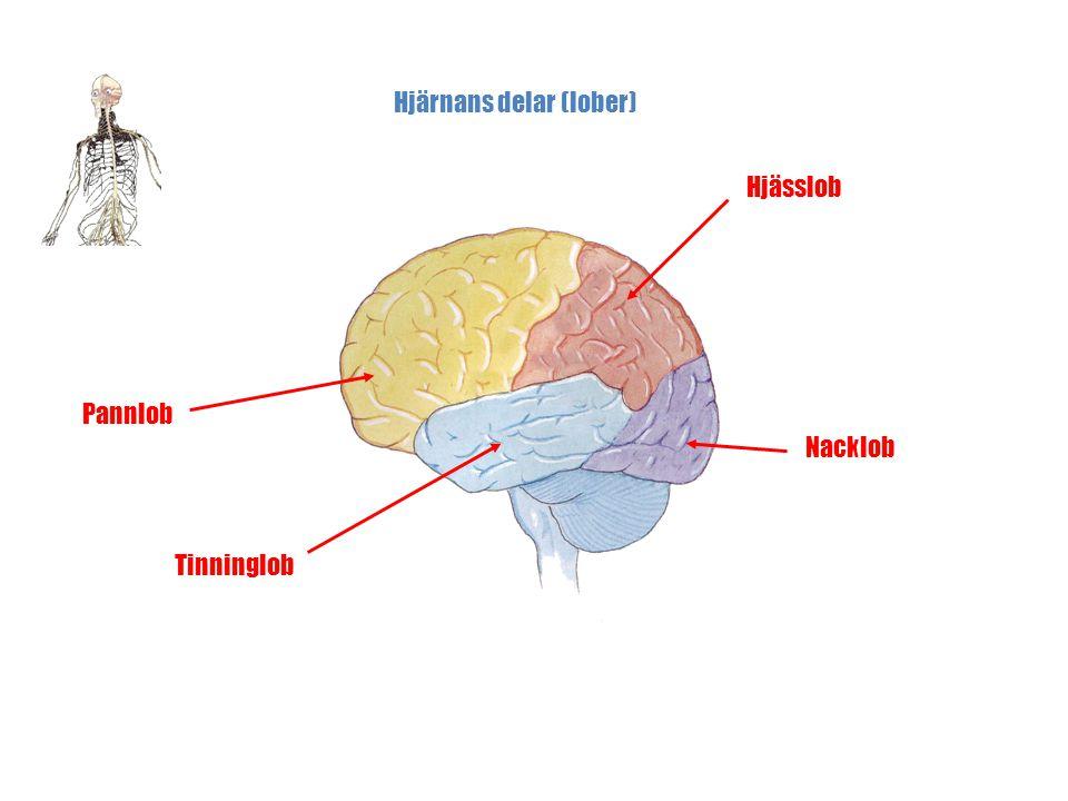 Hjärnans delar (lober)