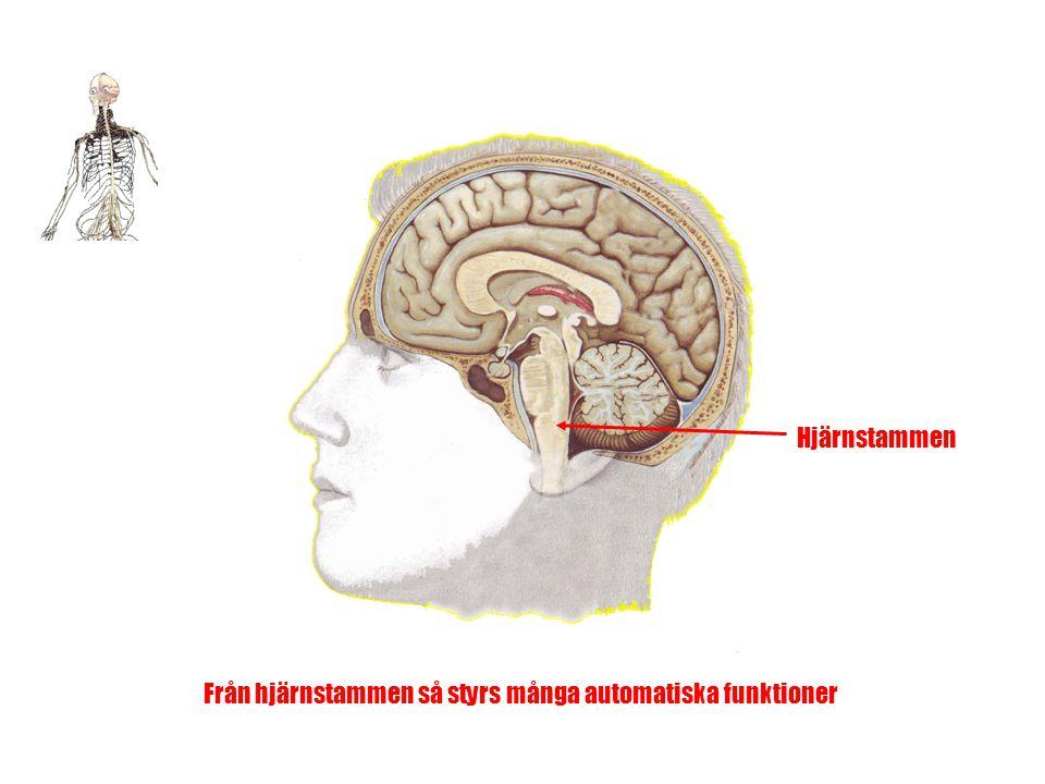 Från hjärnstammen så styrs många automatiska funktioner