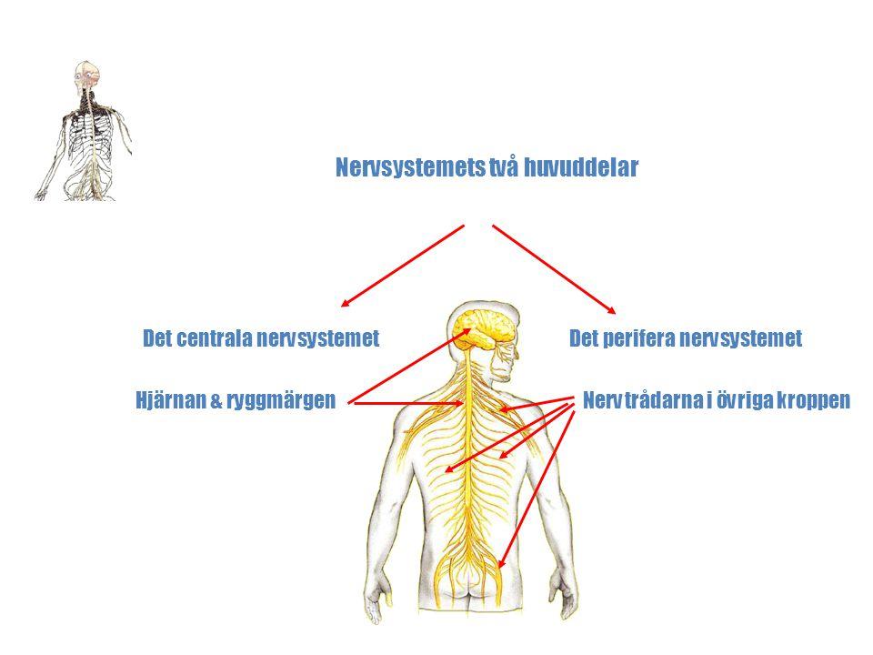 Nervsystemets två huvuddelar