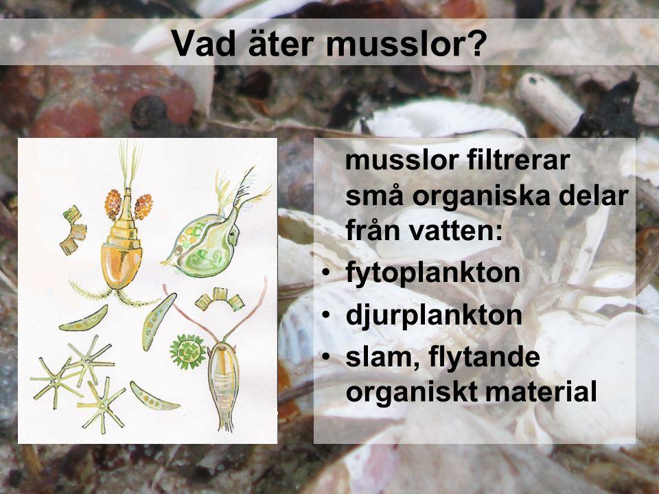 Vad äter musslor musslor filtrerar små organiska delar från vatten: