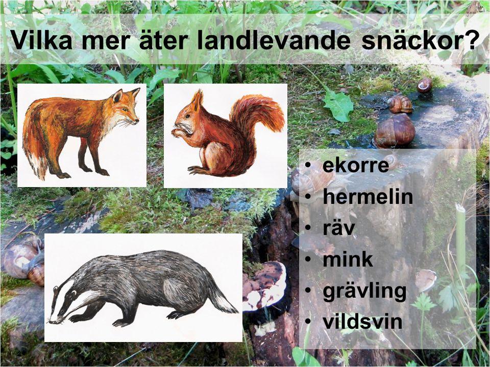 Vilka mer äter landlevande snäckor