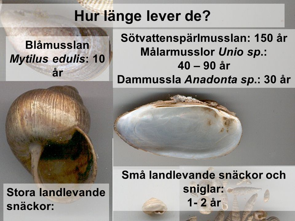 Hur länge lever de Sötvattenspärlmusslan: 150 år