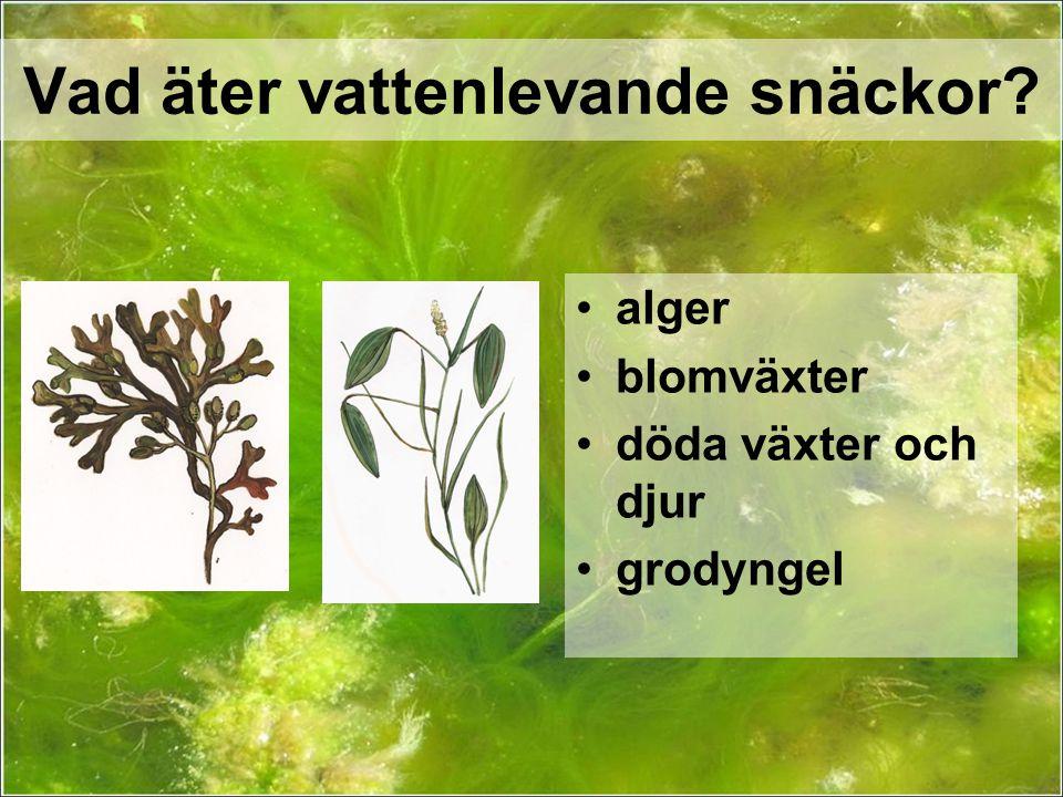 Vad äter vattenlevande snäckor