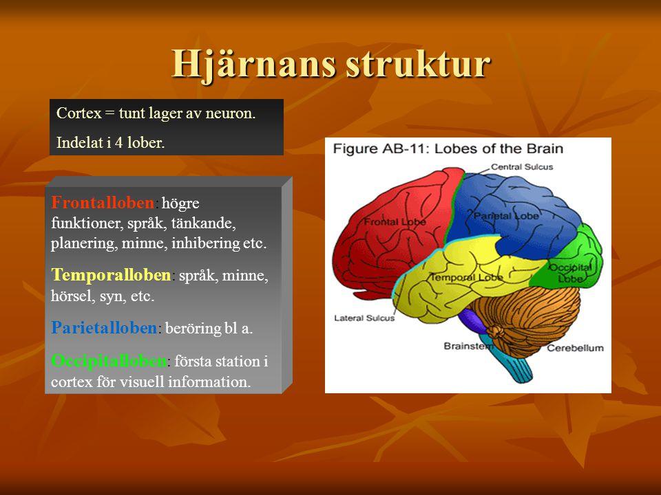Hjärnans struktur Cortex = tunt lager av neuron. Indelat i 4 lober.