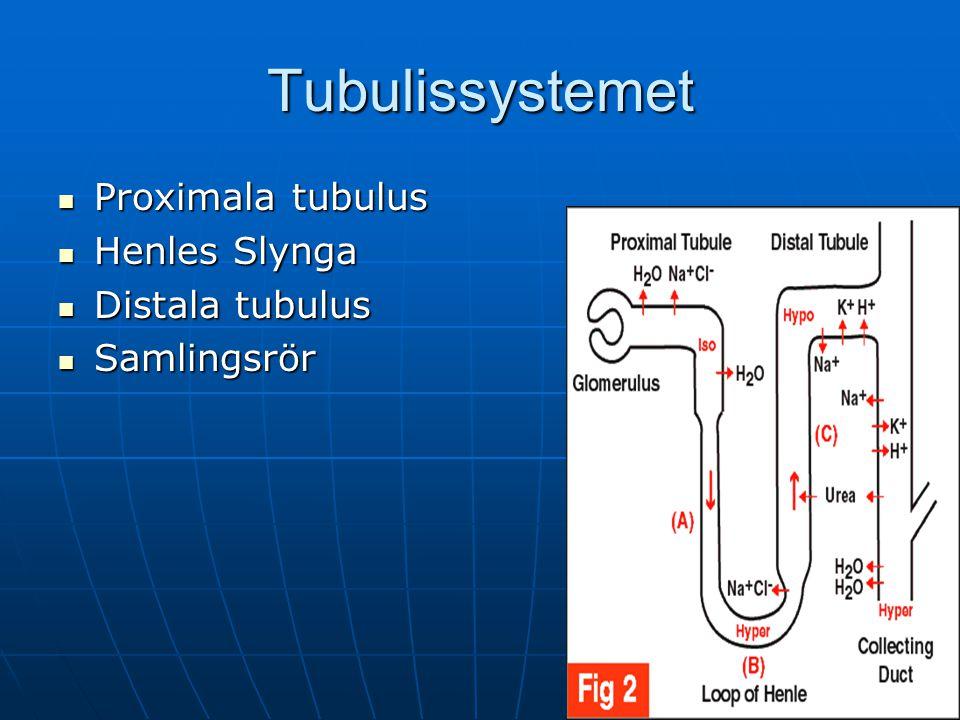 Tubulissystemet Proximala tubulus Henles Slynga Distala tubulus