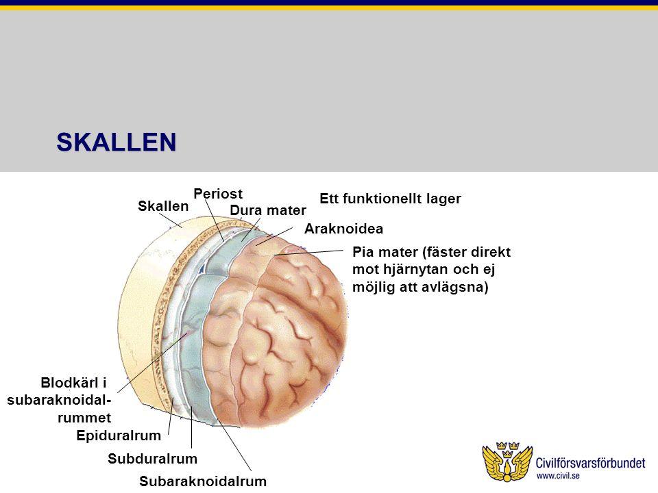 } SKALLEN Periost Ett funktionellt lager Skallen Dura mater Araknoidea