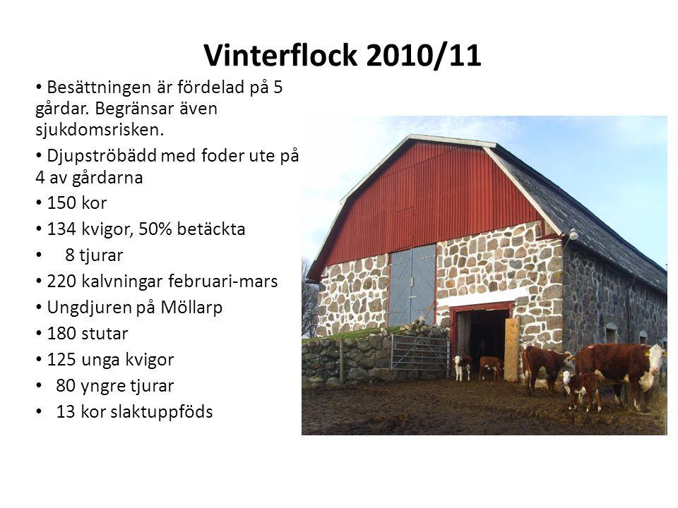 Vinterflock 2010/11 Besättningen är fördelad på 5 gårdar. Begränsar även sjukdomsrisken. Djupströbädd med foder ute på 4 av gårdarna.