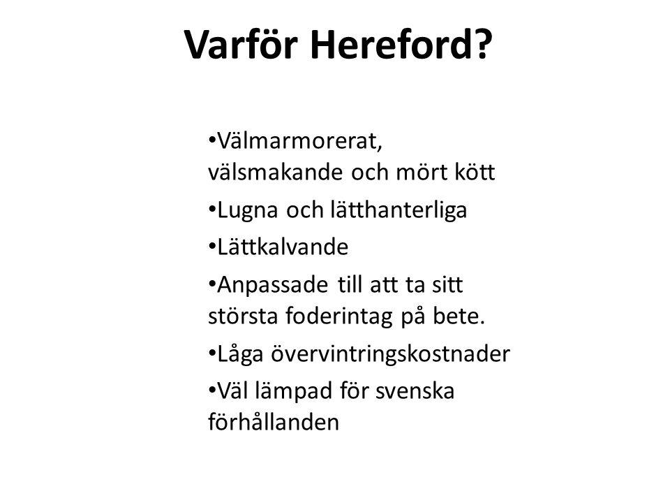 Varför Hereford Välmarmorerat, välsmakande och mört kött