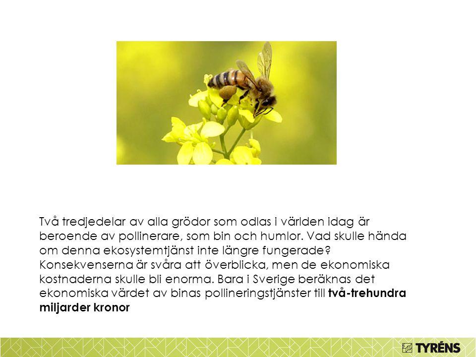 Två tredjedelar av alla grödor som odlas i världen idag är beroende av pollinerare, som bin och humlor.