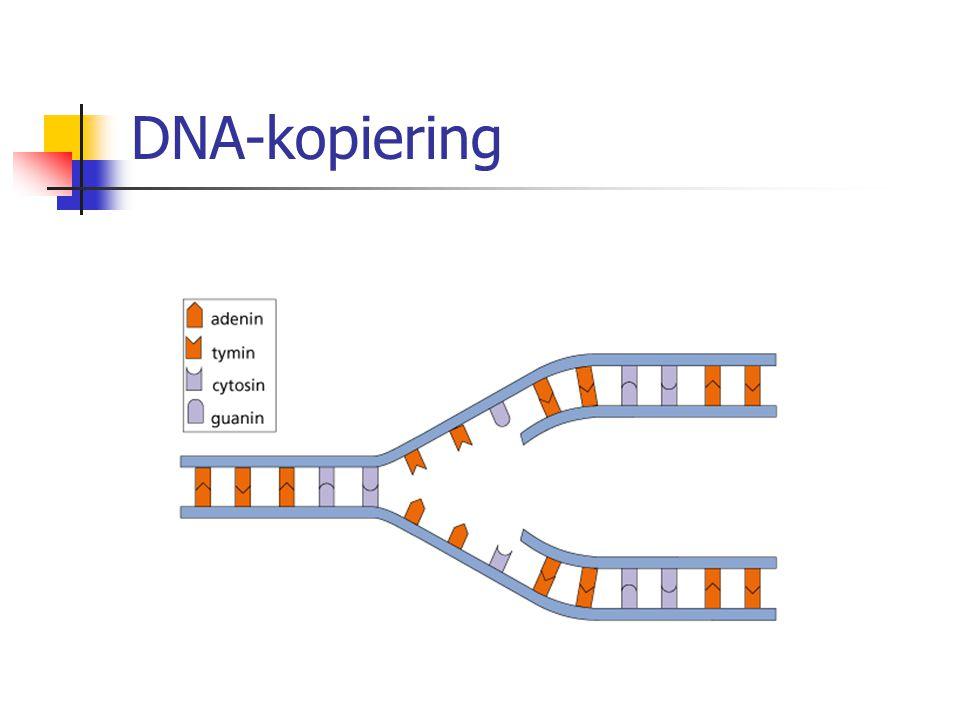DNA-kopiering