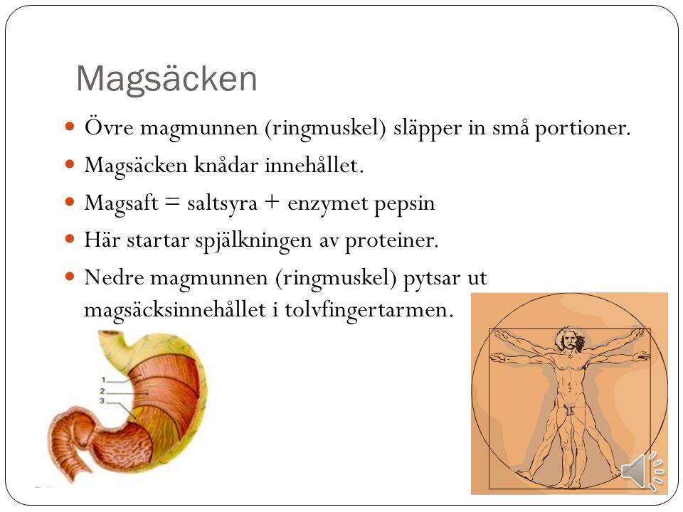 Magsäcken Övre magmunnen (ringmuskel) släpper in små portioner.