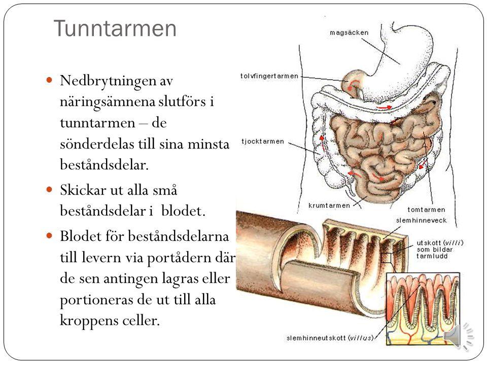 Tunntarmen Nedbrytningen av näringsämnena slutförs i tunntarmen – de sönderdelas till sina minsta beståndsdelar.